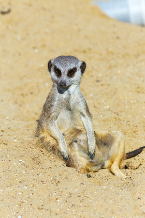 meerkat (Suricata suricatta) sitting on sand ground for guarding and safety Stock Photo