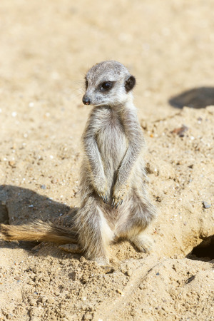 meerkat (Suricata suricatta) sitting on sand ground for guarding and safety Stock Photo
