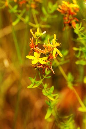 Hypericum flowers (Hypericum perforatum or St John's wort) on the meadow , selective focus on some flowers Stock Photo