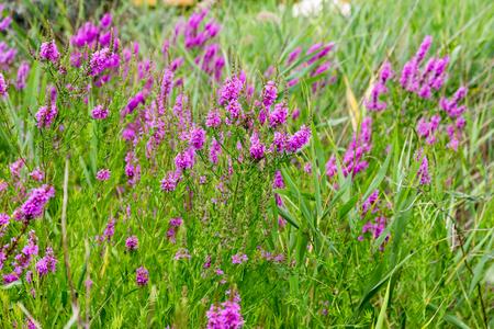 Flowers Ivan Tea - medicinal plant closeup. Macro. Soft selective focus