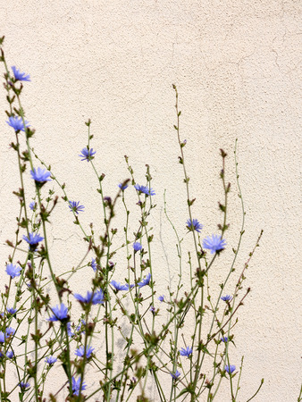 Background with chicory flowers on old walls with cracks and scratches. Selective focus