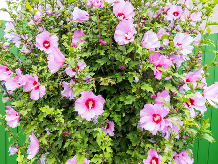 Beautiful large Althea flowering shrub in the sun. These beautiful blooms are also known as Rose of Sharon and are in the hibiscus family, but much more cold hardy then tropical varieties.