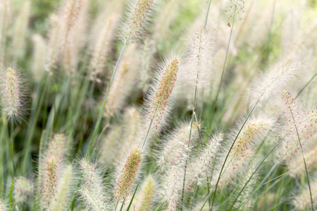 Dry yellow and green spikelets, green grass in the background. Panicle of tufted perennial grass common in lowland British grassland including verges and meadows