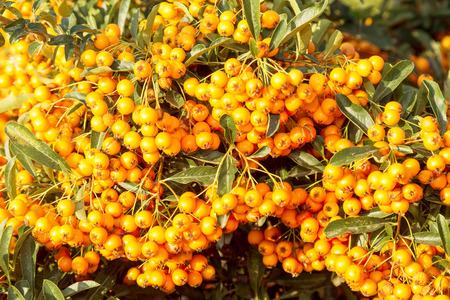 Bright orange ripe berries in bright sunlight. Фото со стока