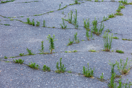 A small green plant grows through urban asphalt soil. A green plant growing from a crack in the asphalt on road. Bad asphalt in cracks. Conceptually abandoned unnecessary destruction of civilization
