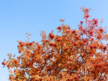 Ripe clusters of rowan berries and red leaves on a blue sky