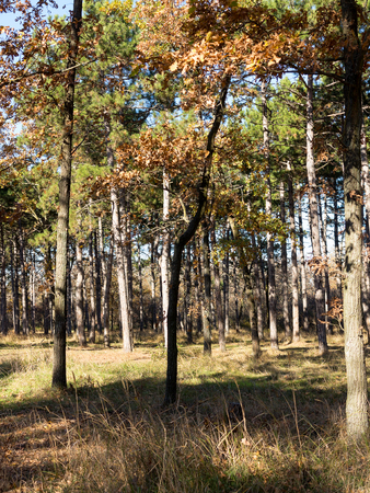 Wide panoramic view of Pine forest with beautiful golden morning side light.