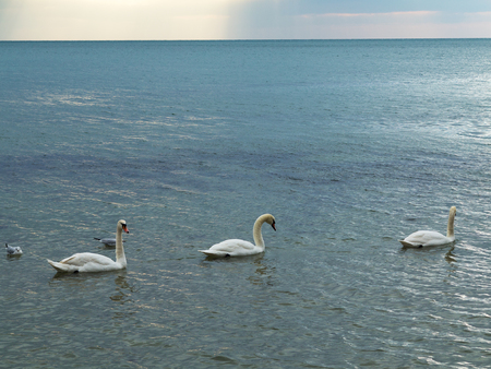 In winter, white swans and seagulls swim in sea. Sea swans, gulls and ducks in winter in coastal waters. Feeding hungry seabirds in winter.