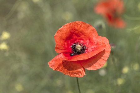 Blooming brilliant red Poppies. Flowers Red poppies bloom in the wild field.