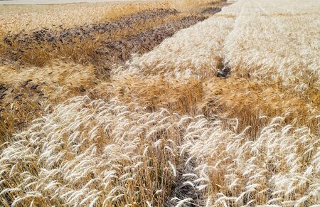 Wheat field. Unusual wheat variety with black ears. Agricultural field with different varieties of wheat near Odessa. Breeding different varieties of cereals 免版税图像