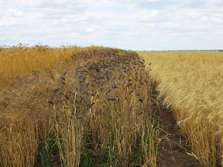 Wheat field. Unusual wheat variety with black ears. Agricultural field with different varieties of wheat near Odessa. Breeding different varieties of cereals 写真素材