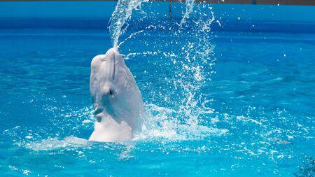Przyjazny wieloryb beluga lub biały wieloryb w wodzie. Portret białego delfina wieloryba Beluga, gdy przyjeżdża do ciebie Zdjęcie Seryjne