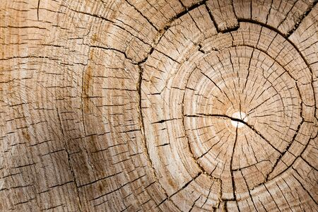 The growth rings of a tree. Ree stump of a felled tree - section of the trunk with annual rings