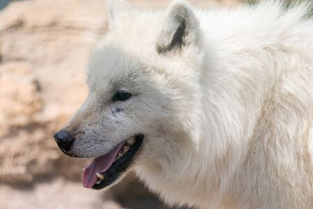 Portrait of a beautiful fluffy white wolf 写真素材