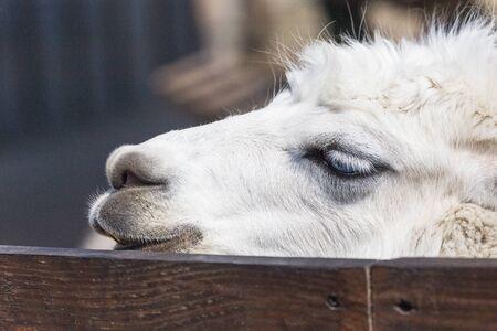 White Llama - Close up photograph of white llamas head. Selective focus on the llamas features. 写真素材