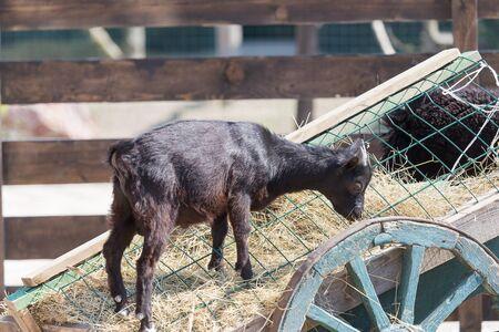 Little black goat eats dry grass