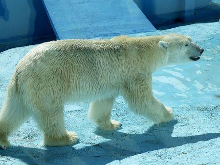 Polar bear walks in the aviary