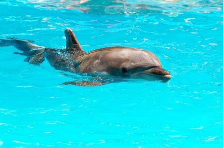 Beautiful dolphin smiling in blue swimming pool water on clear sunny day. Dolphin portrait while looking at you while smiling