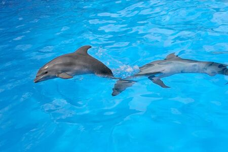 A charming dolphin baby swims with his mom dolphin in pool. Two dolphins enjoing together. Dolphin with cub swim in the pool Foto de archivo