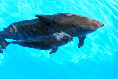 A charming dolphin baby swims with his mom dolphin in pool. Two dolphins enjoing together. Dolphin with cub swim in the pool. View from above