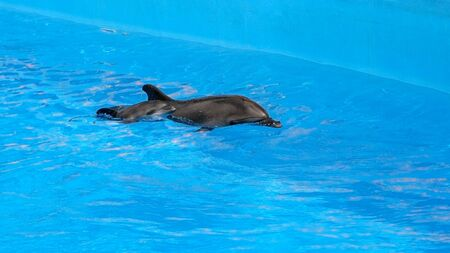 A charming dolphin baby swims with his mom dolphin in pool. Two dolphins enjoing together. Dolphin with cub swim in the pool Stock fotó