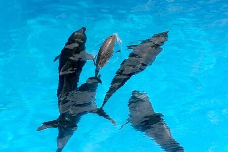 A charming baby dolphin swims surrounded by adult dolphins in the pool. Dolphin with cub swim in the pool. View from above