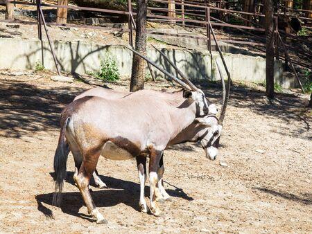 Oryx gazella gazella, beautiful iconic antelope