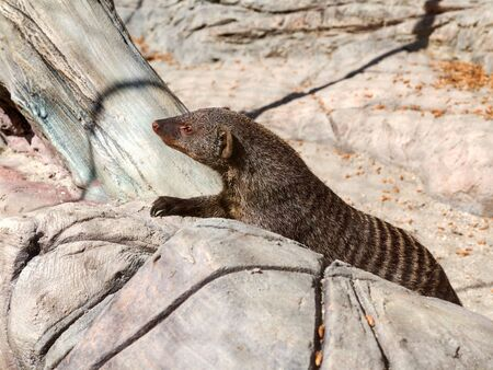 Banded mongoose (mungos mungo) alert and is looking forward wary Stock fotó