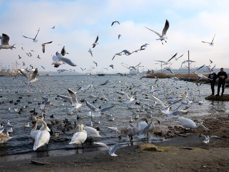 Odessa - January 29, 2019: People feed swans and seagulls. White swans, wild ducks and gulls swimming in sea water in winter. Birds wintering cold. People conservation of birds 写真素材