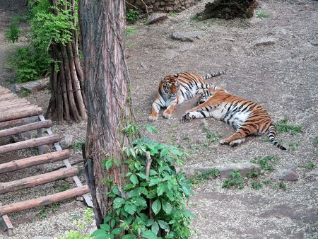 Tigers rest in the aviary on a summer sunny day. National Zoo in Nikolaev, Ukraine