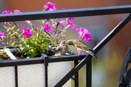Nightingale while feeding its chick of flowers 版權商用圖片