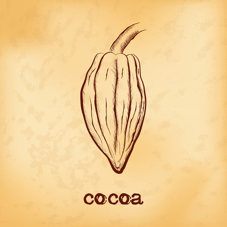 Fruit of chocolate tree - Theobroma cacao - on aged yellowed background. Hand drawn sketch in vintage engraving style. Botanical vector illustration Illustration
