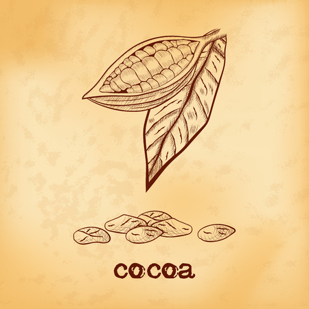 Fruit chocolate tree in a cut with cocoa beans and leaf - Theobroma cacao - on aged yellowed background. Hand drawn sketch in vintage engraving style. Botanical vector illustration Illustration