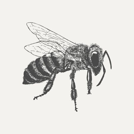 Bee isolated on white background. Hand drawn sketch in vintage engraving style. Vector illustration of insect