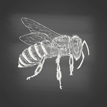 Honeybee - chalk drawing on the blackboard. Hand drawn sketch in vintage engraving style. Insect vector illustration