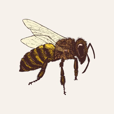 Honey bee isolated on white background. Hand drawn color sketch in vintage engraving style. Insect vector illustration