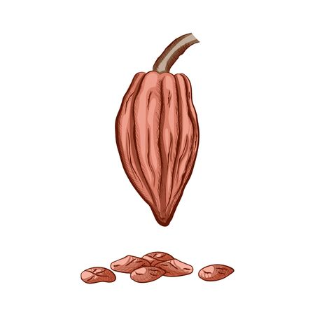 Fruit of chocolate tree - Theobroma cacao - isolated on white background. Hand drawn color sketch in vintage engraving style. Botanical vector illustration