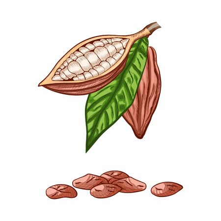 Whole fruit chocolate tree and in a cut with cocoa beans and leaf - Theobroma cacao - isolated on white background. Hand drawn color sketch in vintage engraving style. Botanical vector illustration