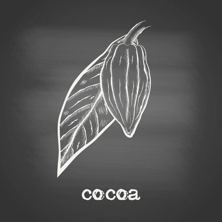 Whole fruit chocolate tree and leaf - Theobroma cacao - chalk drawing on the blackboard. Hand drawn sketch in vintage engraving style. Botanical vector illustration