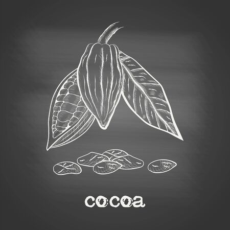 Whole fruit chocolate tree and in a cut with cocoa beans and leaf - Theobroma cacao - chalk drawing on the blackboard. Hand drawn sketch in vintage engraving style. Botanical vector illustration 矢量图像
