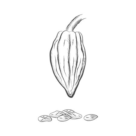 Fruit and beans of chocolate tree - Theobroma cacao - isolated on white background. Hand drawn sketch in vintage engraving style. Botanical vector illustration