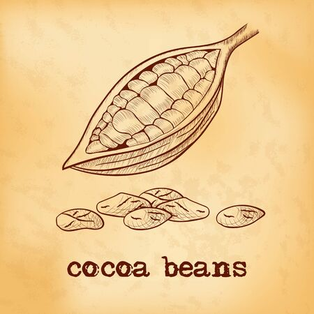 Fruit of chocolate tree in a cut with cocoa beans - Theobroma cacao - on aged yellowed background. Hand drawn sketch in vintage engraving style. Botanical vector illustration 矢量图像