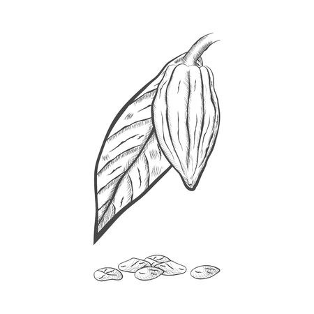 Whole fruit chocolate tree, leaf and seeds - Theobroma cacao - isolated on white background. Hand drawn sketch in vintage engraving style. Botanical vector illustration 矢量图像