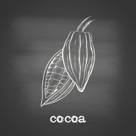 Whole fruit chocolate tree and in a cut with cocoa beans - Theobroma cacao - chalk drawing on the blackboard. Hand drawn sketch in vintage engraving style. Botanical vector illustration 矢量图像