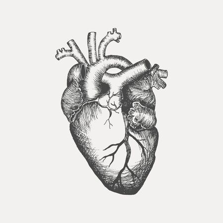 Anatomical human heart - sketch isolated on white background. Hand drawn sketch in vintage engraving style. Vector illustration
