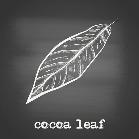 Leaf of chocolate tree - Theobroma cacao - chalk drawing on the blackboard. Hand drawn sketch in vintage engraving style. Botanical vector illustration