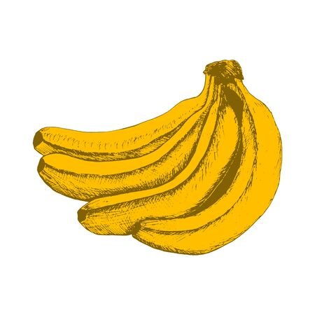 Bunch of bananas - color sketch isolated on white background. Hand drawn sketch in vintage engraving style. Vector illustration of fruits