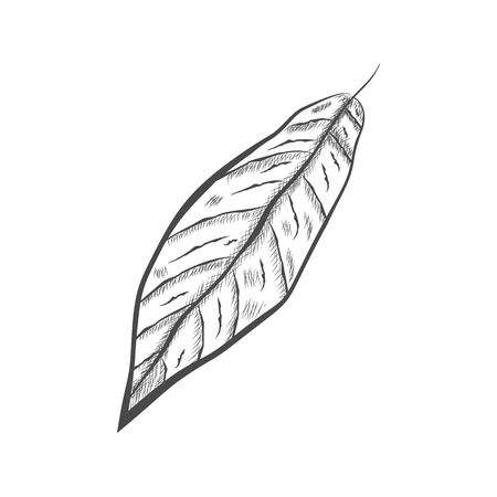 Leaf of chocolate tree - Theobroma cacao - isolated on white background. Hand drawn sketch in vintage engraving style. Botanical vector illustration