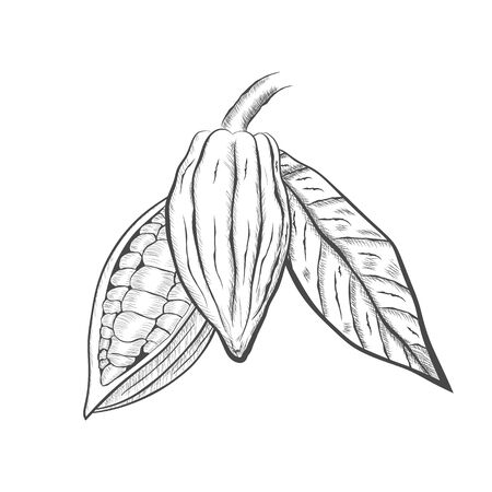 Whole fruit chocolate tree and in a cut with cocoa beans and leaf - Theobroma cacao - isolated on white background. Hand drawn sketch in vintage engraving style. Botanical vector illustration 矢量图像