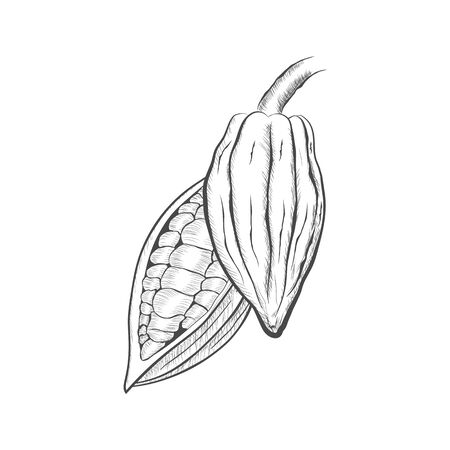 Whole fruit chocolate tree and in a cut with cocoa beans - Theobroma cacao - isolated on white background. Hand drawn sketch in vintage engraving style. Botanical vector illustration